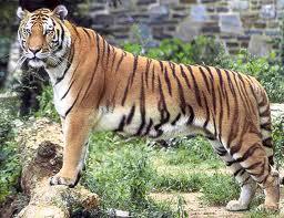 harimau adalah jenis kucing terbesar dari spesiesnya le