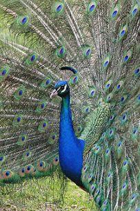 merak -Peacock_melbourne_zoo